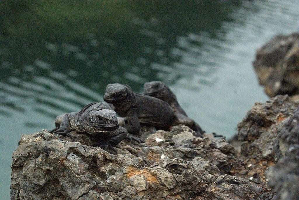 Juvenile_Marine_Iguanas_(Amblyrhynchus_cristatus)_on_Isabela,_Galapagos_Islands