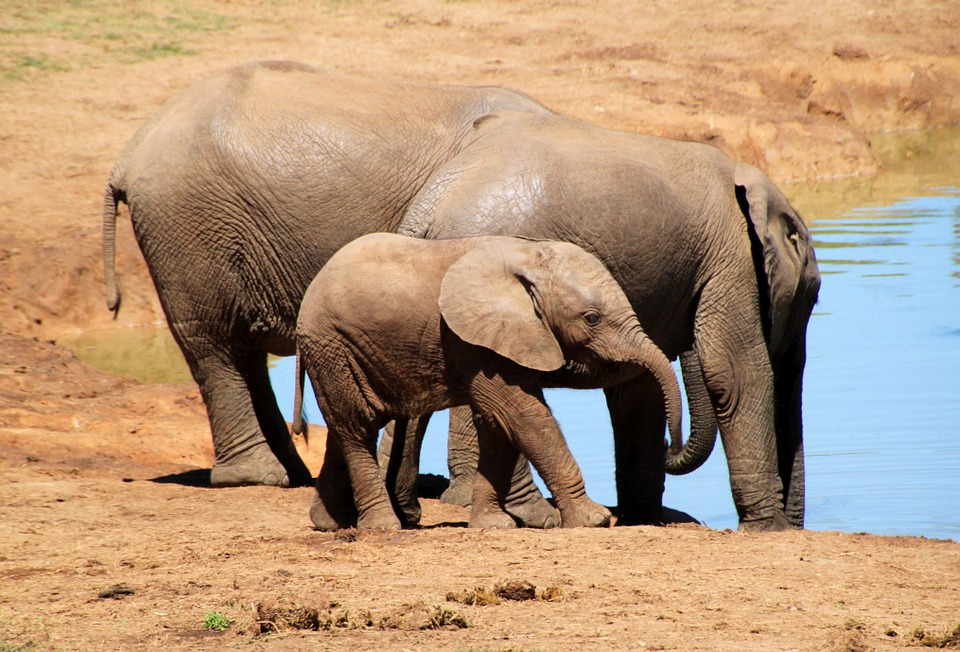 elephant-244185_960_720